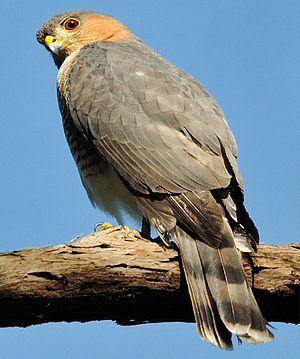 Elfin woods warbler - Puerto Rican sharp-shinned hawk, a natural predator of the elfin woods warbler