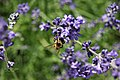Purple Bumblebee (153852705).jpeg