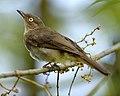 Pycnonotus simplex 1.jpg