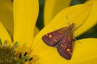 Pyrausta aurata-02 (xndr).jpg