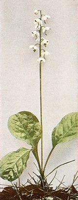 Pyrola elliptica WFNY-151B.jpg
