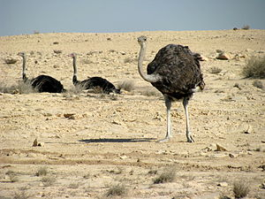 Wildlife of Qatar - Ostriches in Ras Abrouq