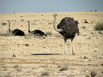 Wildlife of Qatar - Ostriches in Ras Abrouq