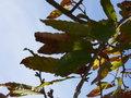 Quercus acutissima4.jpg