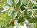 Quercus canariensis Enfoque 2010-10-03 SierraMadrona.jpg