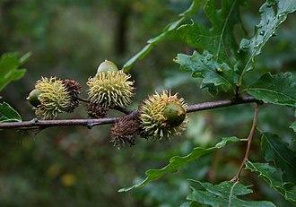 Quercus cerris - Image: Quercus cerris 5