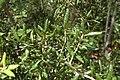 Quercus geminata (24084083221).jpg