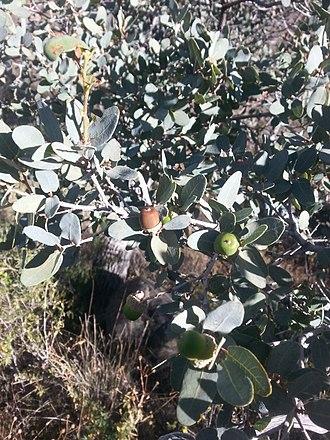 Quercus oblongifolia - Image: Quercus oblongifolia acorns