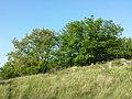 Quercus pubescens sl8.jpg