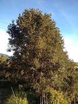 Quercus rugosa.jpg