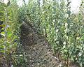 Quince nursery (seedlings was grafted).jpg