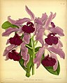 R. Warner & B.S. Williams - The Orchid Album - volume 09 - plate 413 (1891).jpg