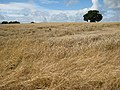 Rain-battered wheat - geograph.org.uk - 926883.jpg