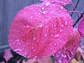 Rain on a smoke tree leaf.jpg