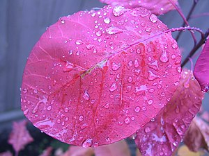 Rain drops on a smoke tree leaf.