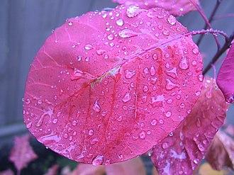 Cotinus - Image: Rain on a smoke tree leaf