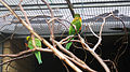 Rainbow lorikeet at Birdworld 05.jpg