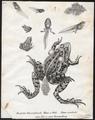 Rana esculenta - 1700-1880 - Print - Iconographia Zoologica - Special Collections University of Amsterdam - UBA01 IZ11500003.tif