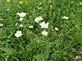Ranunculus aconitifolius L. (7433673440).jpg