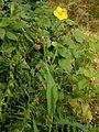 Ranunculus lingua005.jpg
