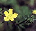 Ranunculus recurvatus NRCS-2.jpg
