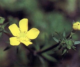 <i>Ranunculus recurvatus</i> Species of flowering plant