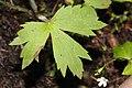 Ranunculus uncinatus 1385.JPG