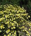 Ranunculuscortusifolius1.jpg
