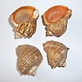 Rapana Black Sea 2009 G1.jpg