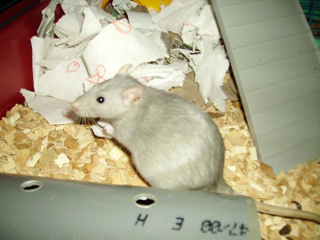 Pregnant Rats 45