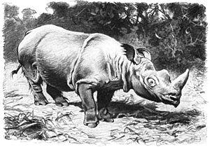 Northern Sumatran rhinoceros - A depiction of the Northern Sumatran rhinoceros by Friedrich Wilhelm Kuhnert, 1927