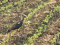 Red- naped ibis.jpg