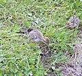 Red-legged Partridge chicks (Alectoris rufa) - geograph.org.uk - 475157.jpg