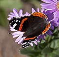 Red Admiral 5 (3916404862).jpg