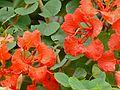Red Orchid Bush (Bauhinia galpinii) (8392631768).jpg