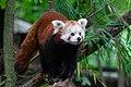 Red Panda (36696816335).jpg
