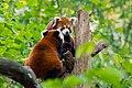 Red Panda (37832664384).jpg