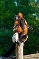 Red Ruffed Lemur (50349740388).jpg
