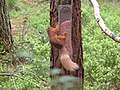Red Squirrel - geograph.org.uk - 185008.jpg