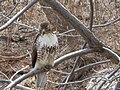 Red Tailed Hawk (13395247723).jpg