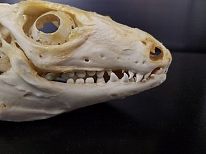 Lizard - Red tegu (Tupinambis rufescens) skull, showing teeth of differing types