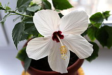 Red and white hibiscus rosa-sinensis flower.jpg