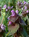 Red dead-nettle - Lamium purpureum - geograph.org.uk - 1117763.jpg
