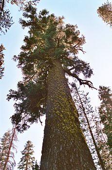 कैलिफ़ोर्निया में एक लाल सनोबर का वृक्ष