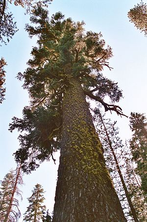 Caribou Wilderness - Old growth red fir.