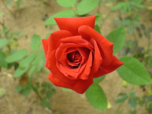 National symbols of England - Image: Red rose 00090