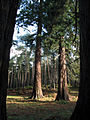 Redwood Trees - geograph.org.uk - 586518.jpg