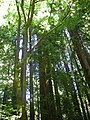 Redwoods in Muir Woods 1.JPG