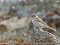 Reed Bunting (Emberiza schoeniclus) (51130459349).jpg