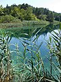 Reeds in the lake Galovac.jpg